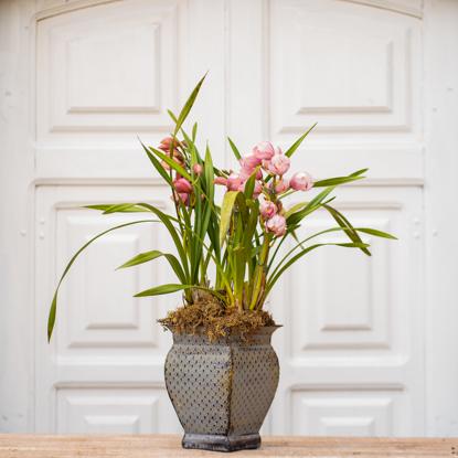 Imagem de Orquídea Cymbidium Décor